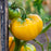 'Yellow Jubilee' Tomato