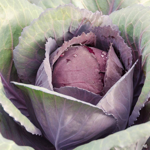 'Red Acre' Cabbage