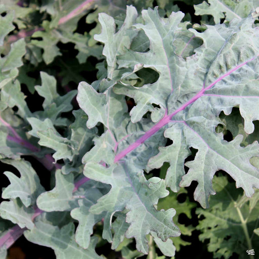 'Red Russian' Kale