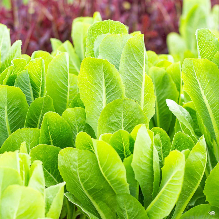 'Green Romaine' Lettuce plant