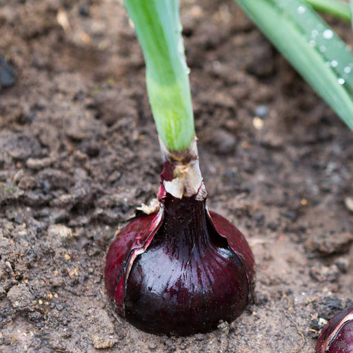'Stockton Red' Onion