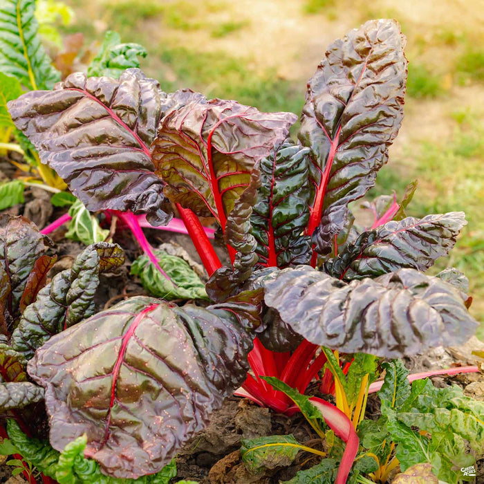 'Red Leaf' Swiss Chard plant