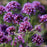 Verbena 'Meteor Shower'