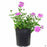 Verbena 'Enduro' Pink Bicolor 1 gallon