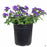 Verbena 'Enduro' Purple 1 gallon