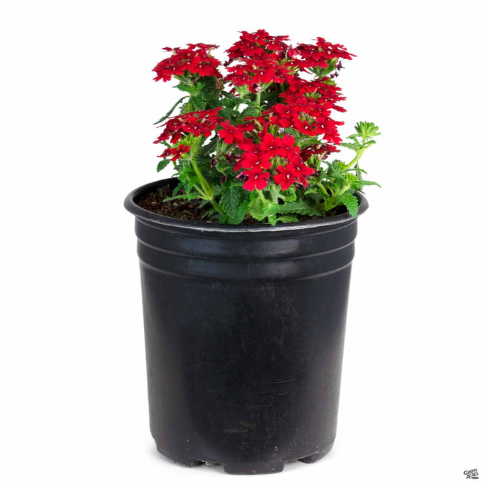 Verbena 'Enduro' Red 1 gallon