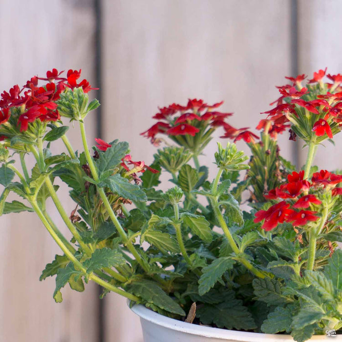 Verbena 'Enduro' Red