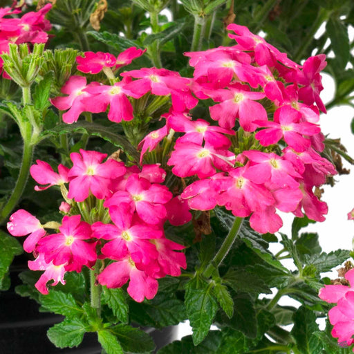 Firehouse™ Verbena