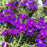 Verbena 'Tapien Blue Violet', Purple