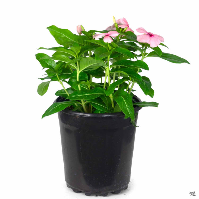 Annual Vinca 1 gallon Pink