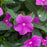 Annual Vinca Purple