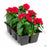Annual Vinca 6-pack Red