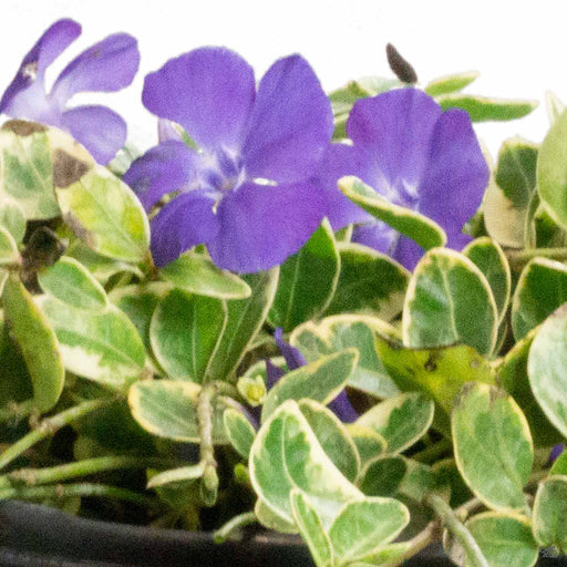 Periwinkle 'Sterling Silver'