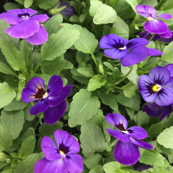 Viola Sorbet XP Blue Blotch