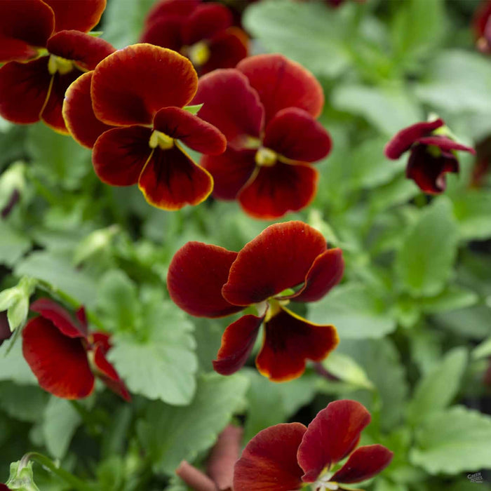 Viola Sorbet XP Red Blotch