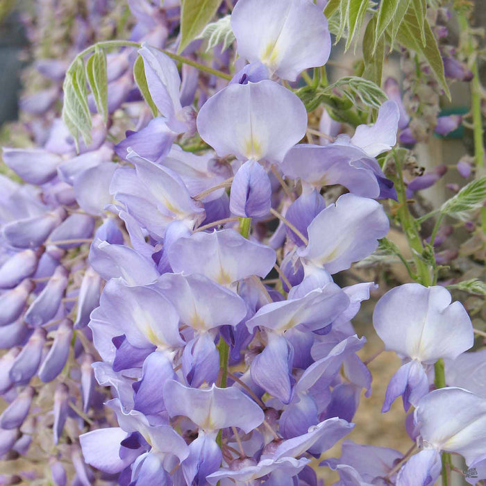 Wisteria 'Cooke's Purple' detail