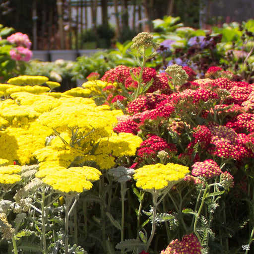 Assorted Yarrow in Yellow and Red