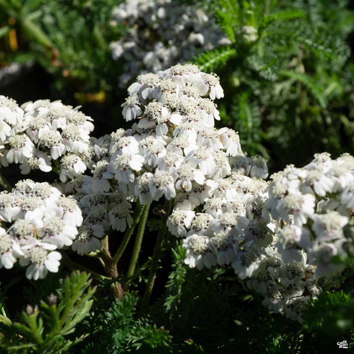 Yarrow New Vintage White