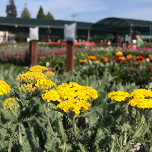 Yarrow 'Moonshine' at Green Acres