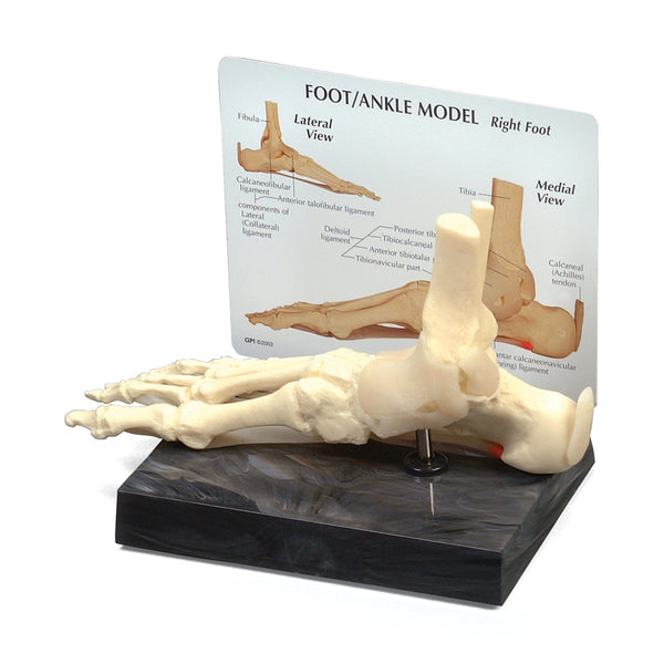 Foot & Ankle Model