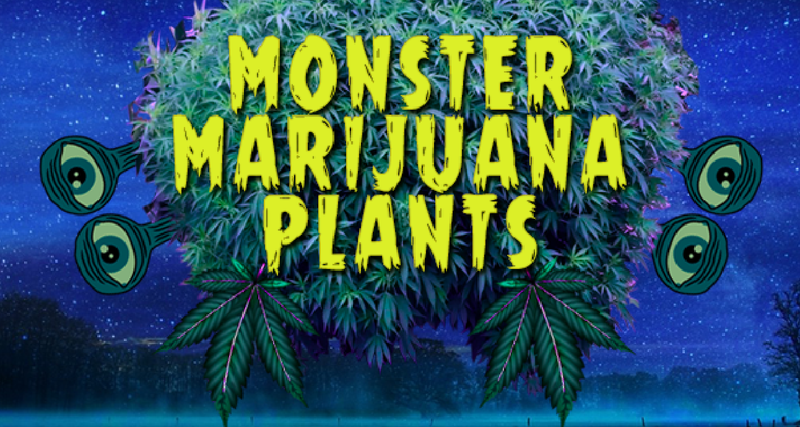 Green Thumb Farmers Growing Cannabis Into Giant Monster Plants