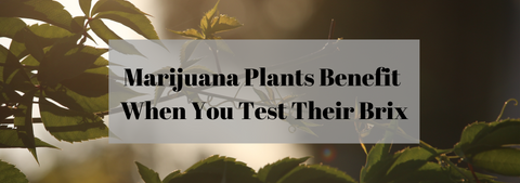 Marijuana Plants Benefit When You Test Their Brix