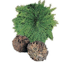 Load image into Gallery viewer, ROSE OF JERICHO