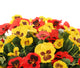 Artificial 35cm Red and Yellow Pansy Display in a 20cm Gloss White Square Planter - Closer2Nature