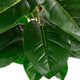 Artificial 4ft Pothos Plant Closer2Nature