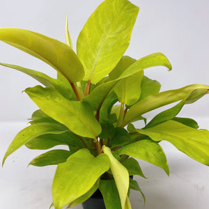Philodendron Golden Emerald 4""