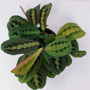 Red Maranta 'Prayer Plant' 6""