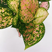 Load image into Gallery viewer, Aglaonema 'Lady Valentine' 6""