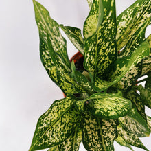 Load image into Gallery viewer, Aglaonema 'Snow White' 6""