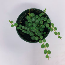 Load image into Gallery viewer, Peperomia Prostrata 'String of Turtles' 3""