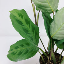 Load image into Gallery viewer, Maranta leuconeura 'Kerchoveana' 4""