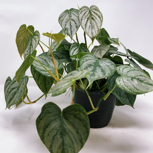 "Philodendron 'Brandi' 6"" (HUGE)"