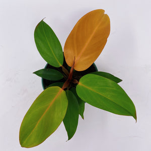 Philodendron Prince of Orange 4""