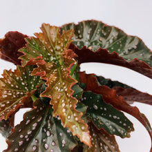 Load image into Gallery viewer, Begonia Dragon Wing 'Stardust' 4""