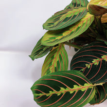 Load image into Gallery viewer, Red Maranta 'Prayer Plant' 6""