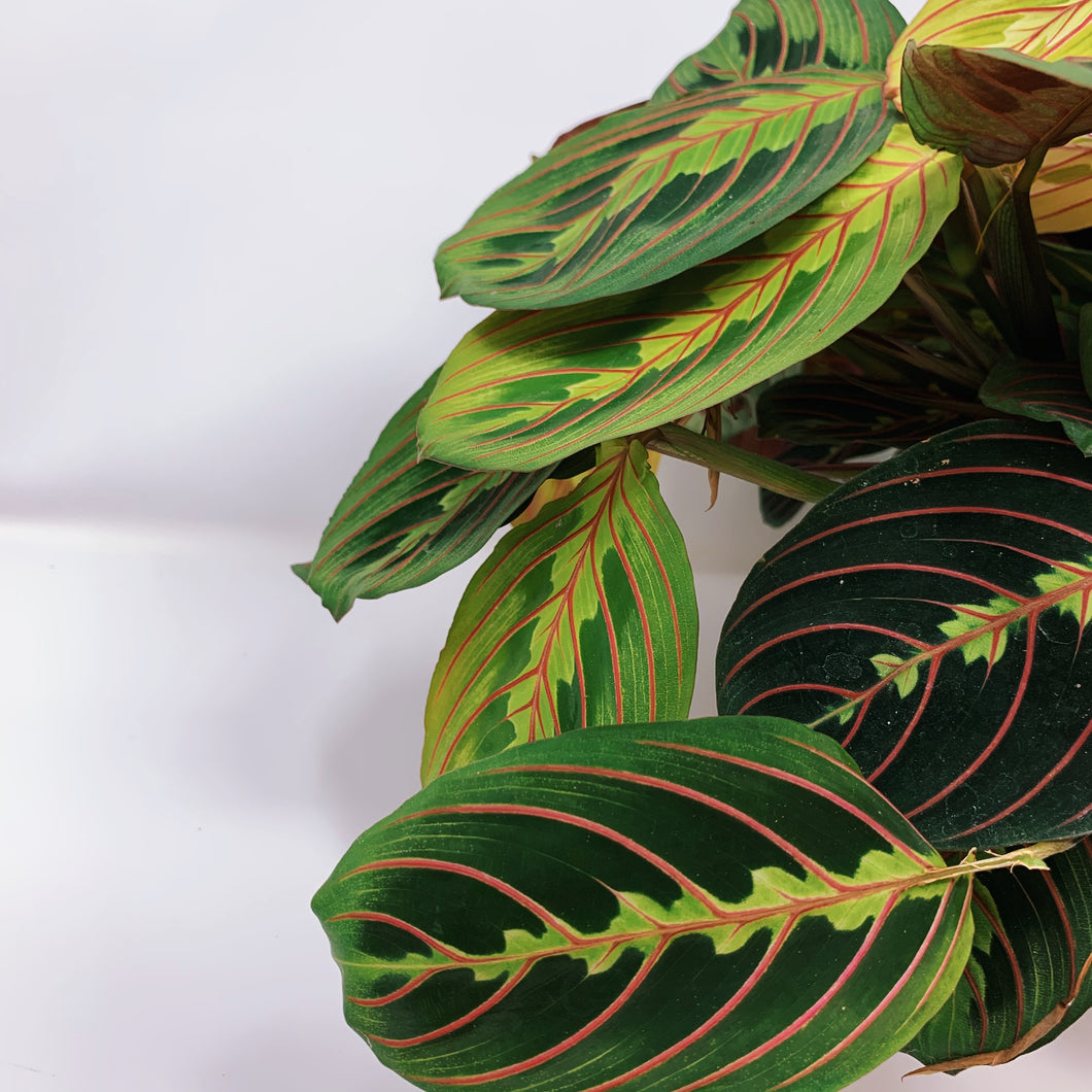 Red Maranta 'Prayer Plant' 6