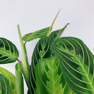 Lemon Lime Maranta 'Prayer Plant' 6""