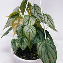 "Load image into Gallery viewer, Philodendron 'Brandi' 6"" HB"