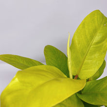 Load image into Gallery viewer, Philodendron Golden Emerald 4""