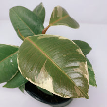 Load image into Gallery viewer, Ficus Tineke 6""