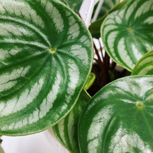 "Load image into Gallery viewer, Watermelon Peperomia 6"" HB"