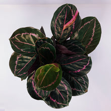 Load image into Gallery viewer, Calathea 'Dottie' 6""