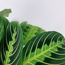 Load image into Gallery viewer, Lemon Lime Maranta 'Prayer Plant' 6""