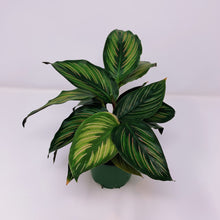 Load image into Gallery viewer, Calathea Beauty Star 4""