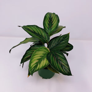 Calathea Beauty Star 4""