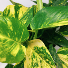 Load image into Gallery viewer, Golden Pothos 6""